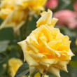 Bush of yellow roses — Stock Photo #5859730