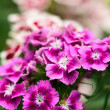 Stock Photo: Scented carnation bush