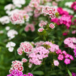 Scented carnation bush — Stockfoto