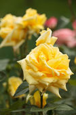 Bush of yellow roses — Stock Photo