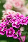 Scented carnation bush — Stock Photo