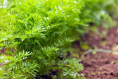 Macro of dill outdoor — Foto Stock