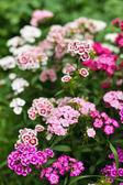 Scented carnation bush — Stock Photo