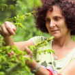 Woman picking fir buds — Stock Photo