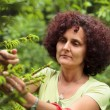 Woman picking fir buds - Stock Photo