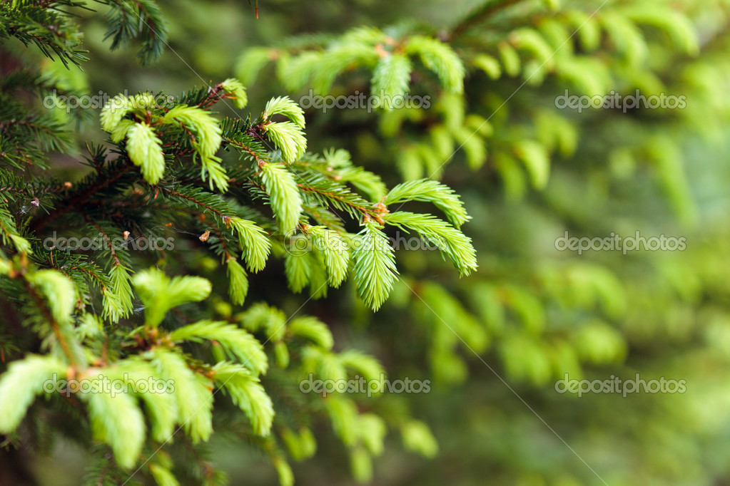 Closeup of fir branches with young buds  — Stock Photo #5903457