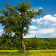 Single tree in a wheat field - Stock Photo