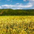 Wheat field with selective focus — Stock Photo