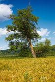 Single tree in a wheat field — Stock Photo