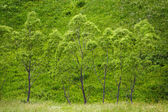 Row of willows — Stock Photo