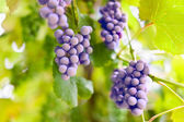 Bunch of grapes in a vinery — Stock Photo