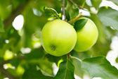 Closeup of green apples — Stock Photo