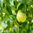 Pear on a branch — Stock Photo #6588381