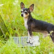 Chihuahua dog at the laptop, outdoor — Stock Photo #6588514
