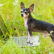Chihuahua dog at the laptop, outdoor - Stock Photo