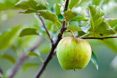 Closeup of a green apple — Stock Photo