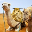 Camels on desert - Stock Photo
