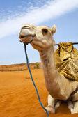 Camels on desert — Stock Photo