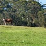 One dairy cow grazing — Stock Photo #6386805