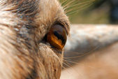 Goat's eye closeup — Stock Photo