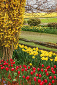 Tulip and daffodil spring garden — Stock Photo