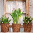 Tulip pots on windowsill — Stock Photo #5434678