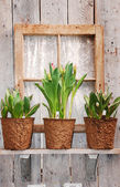 Tulip pots on windowsill — Stock Photo