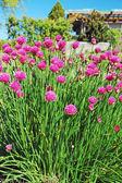 Mor bıçaklamak çiçekler — Stok fotoğraf