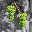 Green grapes on black and white — Stock Photo