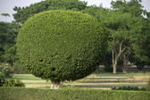Decorative Tree Pruning — Stock Photo