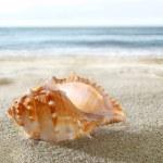 Shell on the sandy beach — Stock Photo #6363354