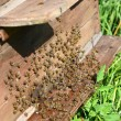 Bees near a beehive - Stock Photo