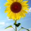 Sunflower on a background sky — Stock Photo