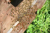 Bees near a beehive — Stock Photo