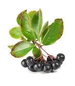 Black ashberry — Stock Photo