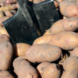 Stock Photo: Harvest of potato