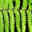 Fern frond leaf background — Stock Photo