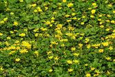 Bright yellow wildflowers — Stock Photo