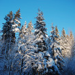 Snow covered fir-trees - Stock Photo