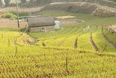 Farm of green onion — Stock Photo