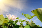 Lotus flowers — Stock Photo