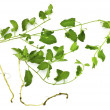 A pernicious weed - field bindweed — Stock Photo