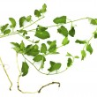 Stock Photo: Pernicious weed - field bindweed