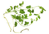 A pernicious weed - field bindweed — Stock Photo
