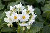 Flower of a potato — Stock Photo