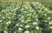 Lush flowering potato — Stock Photo