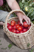 Plentiful fructification of tomatoes — Stock Photo