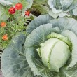 Together growing cabbage and flowers — Stock Photo #6341970