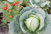 Together growing cabbage and flowers — Stock Photo