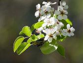 Flor de pera — Foto de Stock